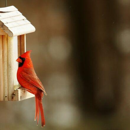 cardinal, birdhouse, nature, Canon EOS 5D MARK III