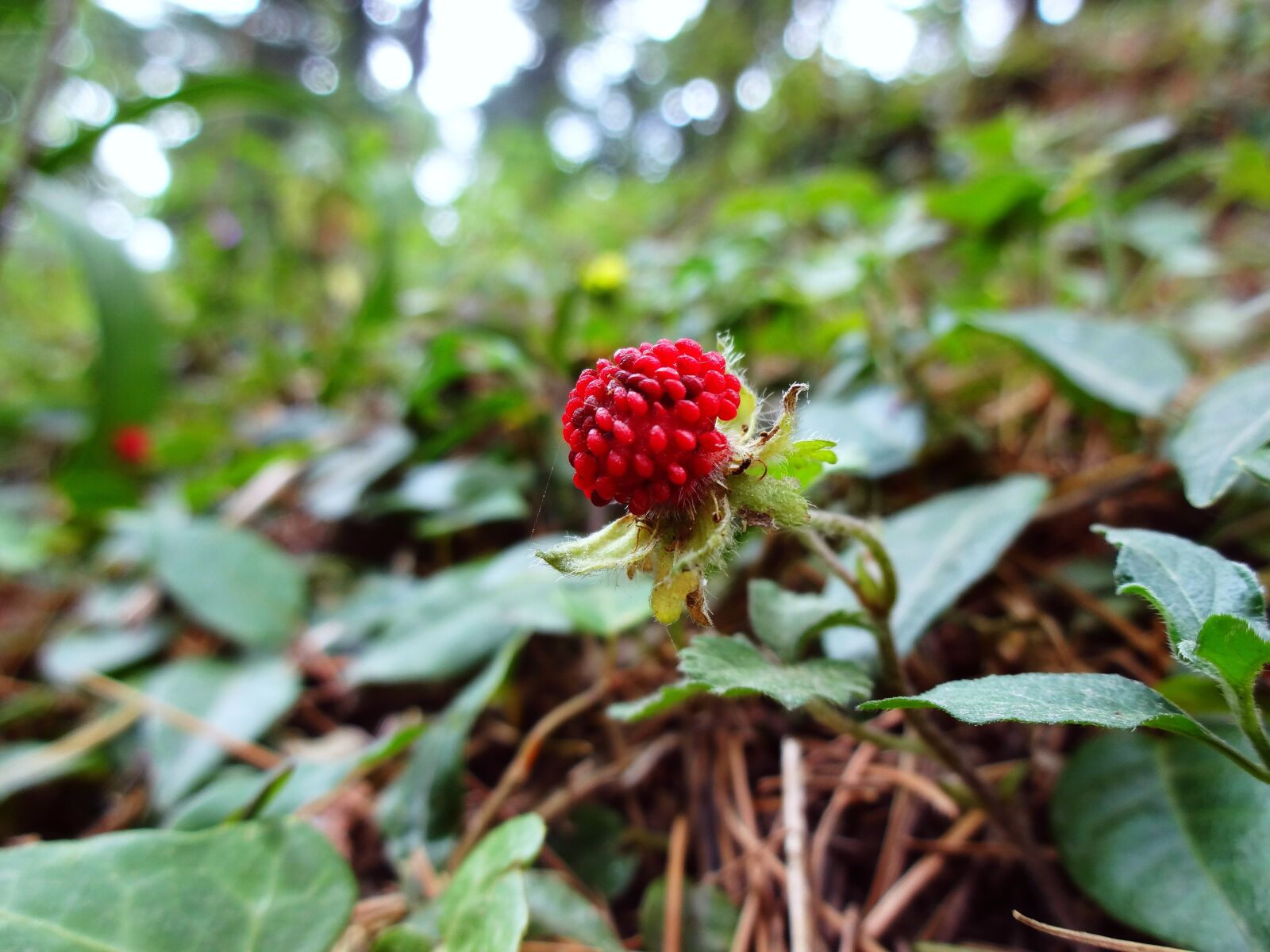 nature, berry, plant