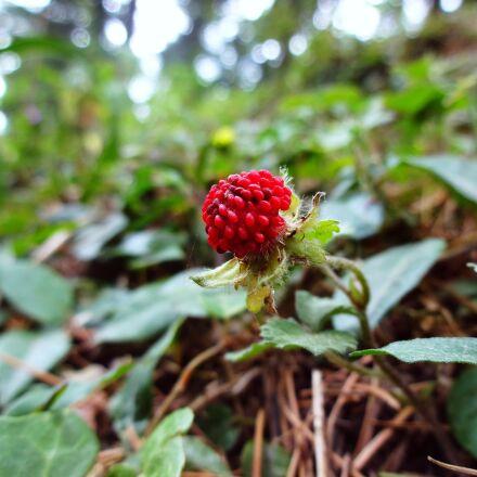 nature, berry, plant, Sony DSC-WX150