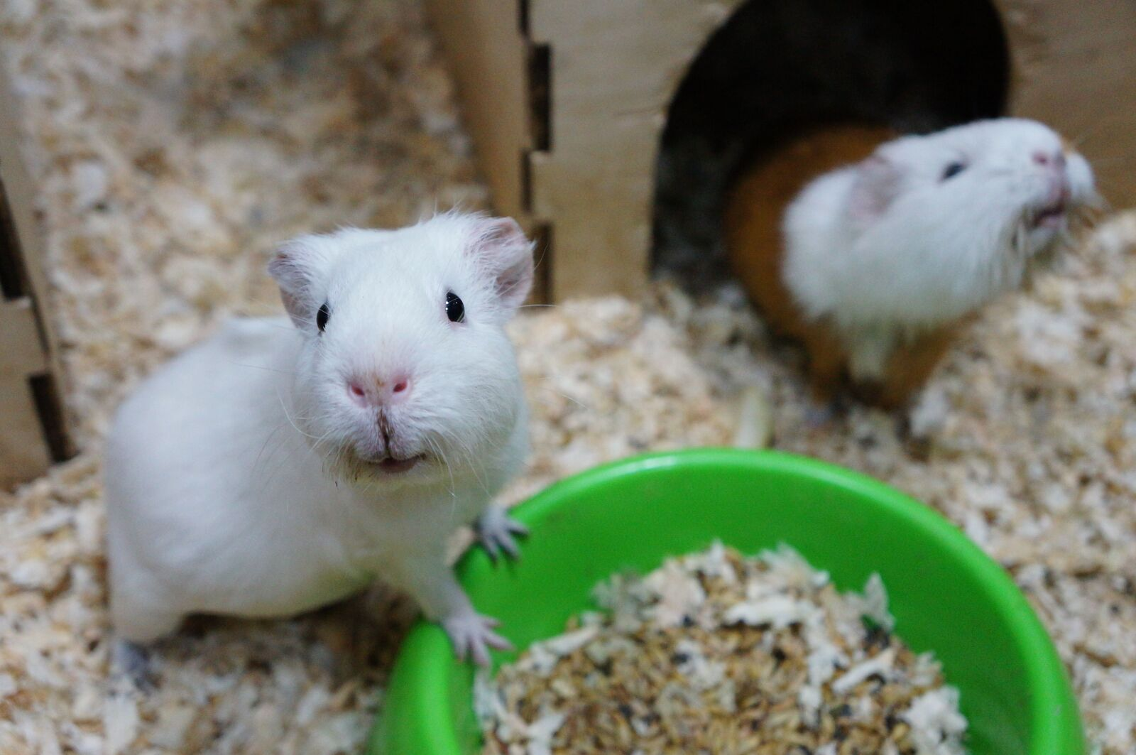 guinea pig, animal, rodent