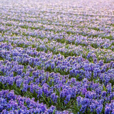 netherlands, flower, spring, Canon EOS 60D