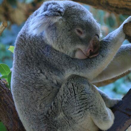 koala, lazing around, zoo, Canon EOS 100D