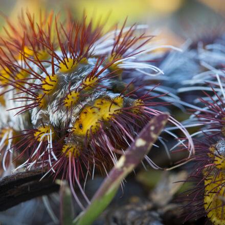 australia, caterpillar, insect, nature, Canon EOS 5D MARK III