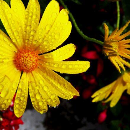 flora, flowers, margaretka, Fujifilm FinePix S3400