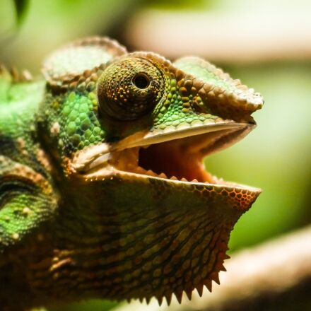 animal, chameleon, reptile, Panasonic DMC-G70