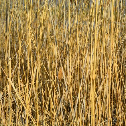 reed, nature, pond plant, Nikon 1 S1