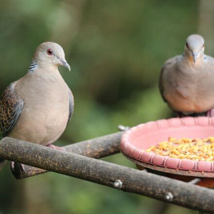 bird, pigeon, pet, Canon EOS 5D MARK III