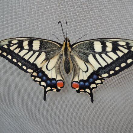 a common yellow swallowtail, Nikon COOLPIX P310