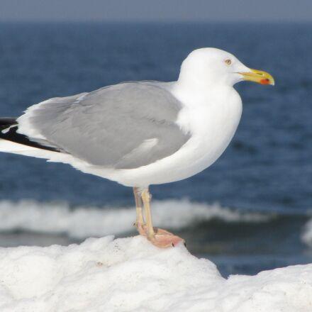 seagull, beach, sea, Canon POWERSHOT SX1 IS