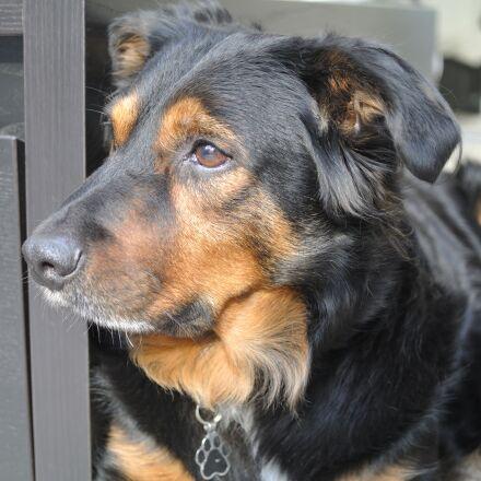 australian shepherd, dog, pet, Nikon 1 V1