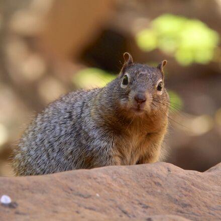 grey squirrel, animal, nature, Canon EOS 700D