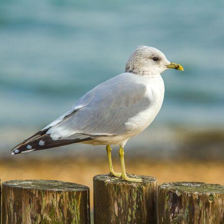 seagull, ocean, coast, Canon EOS 60D