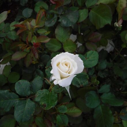 rose, flower, garden, Fujifilm FinePix XP80 XP81 XP85