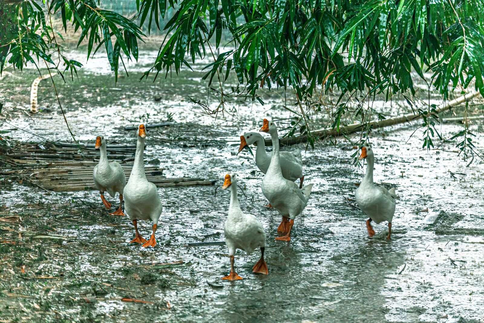 Geese After Rain
