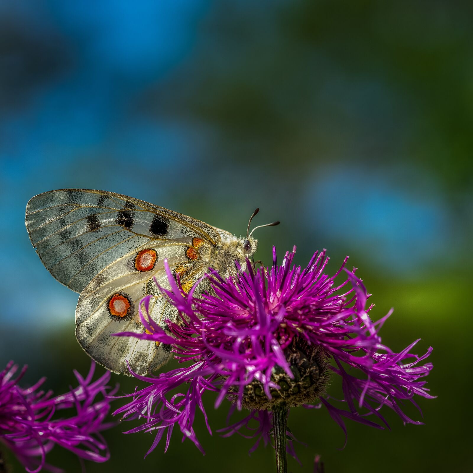 """Sony a6000 sample photo. """"Apollo, butterfly, insect"""" photography"""