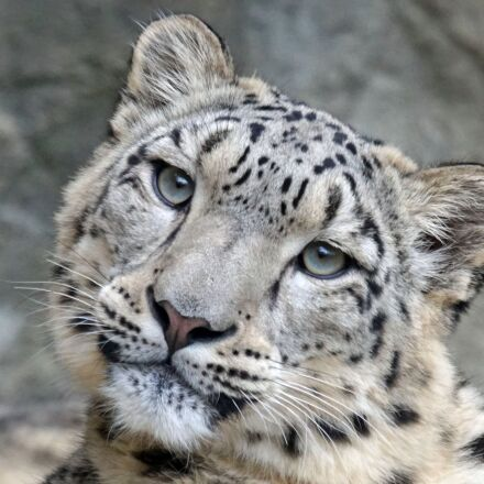 snow leopard, irbis, female, Sony ILCA-77M2