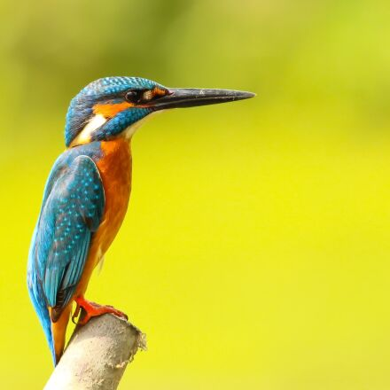 kingfisher, animal, avian, Canon EOS REBEL T3I
