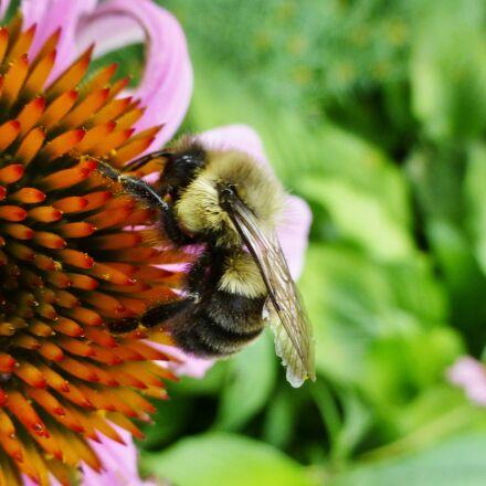 bee, flower, nature, Panasonic DMC-ZS20