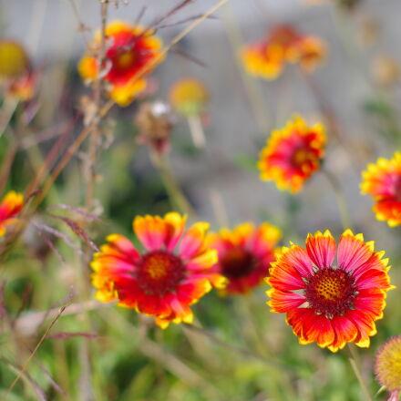 bokeh, flowers, nature, Pentax K-X