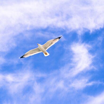 gull, animal, flying, Canon EOS 7D