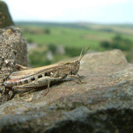 grasshopper, insect, nature, Fujifilm FinePix S602 ZOOM