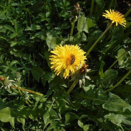 dandelion, flower, yellow, Nikon COOLPIX S2800