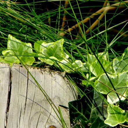 ivy, vedben, plant, Fujifilm FinePix F550EXR