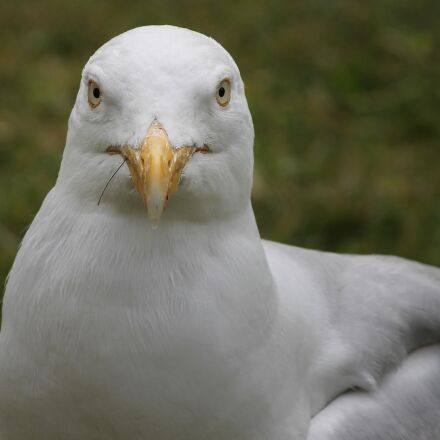 seagull, close up, view, Canon EOS 1100D