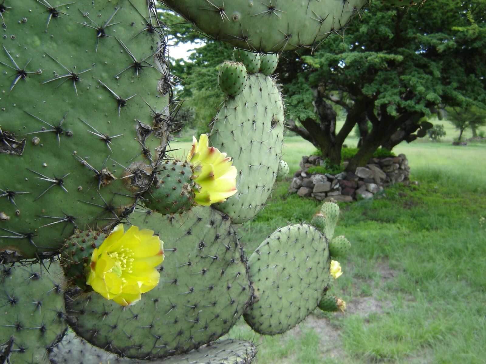 mexico, teotihuacan, cactus