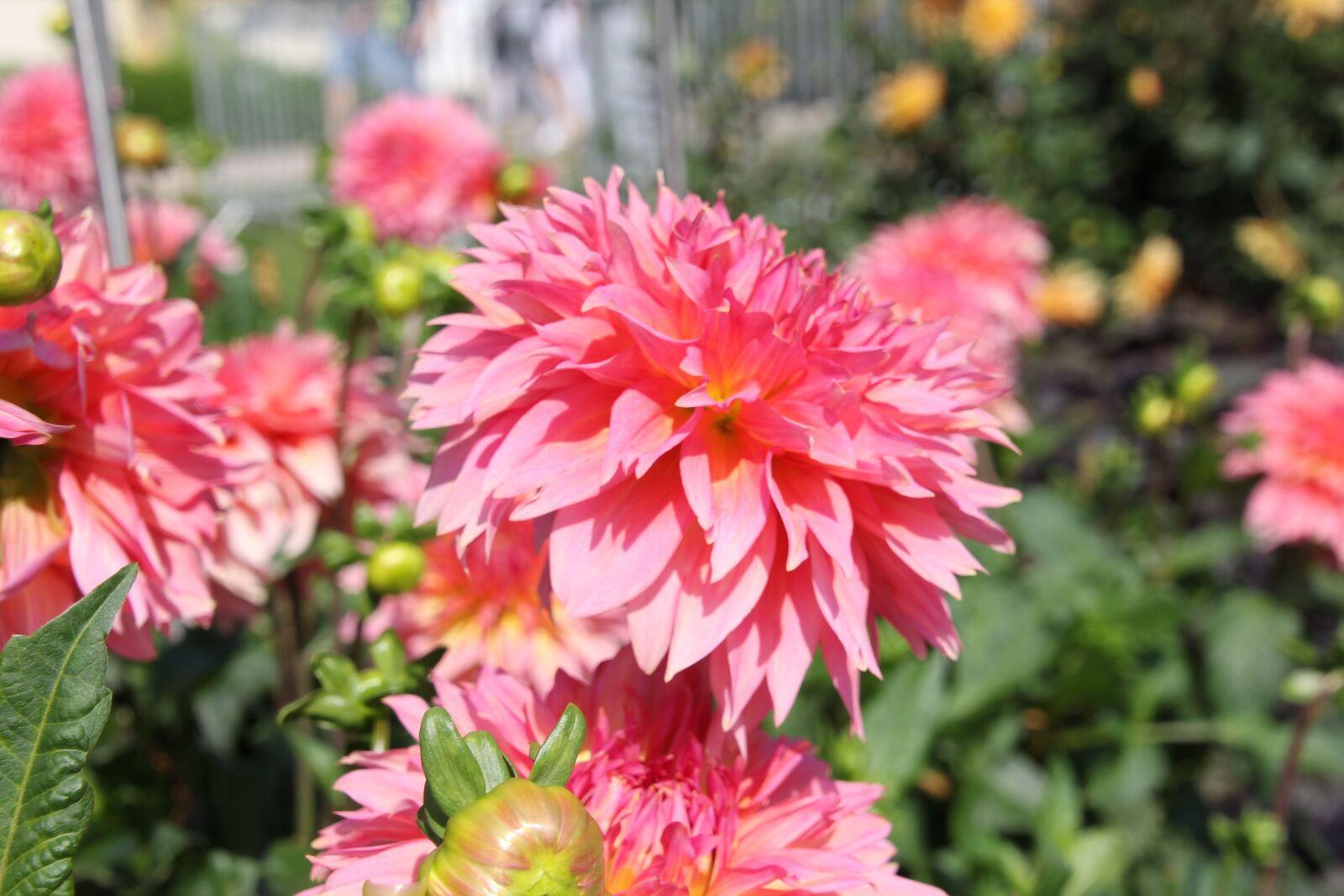 "Canon EOS 60D sample photo. ""Dahlia, dahlias, blossom"" photography"