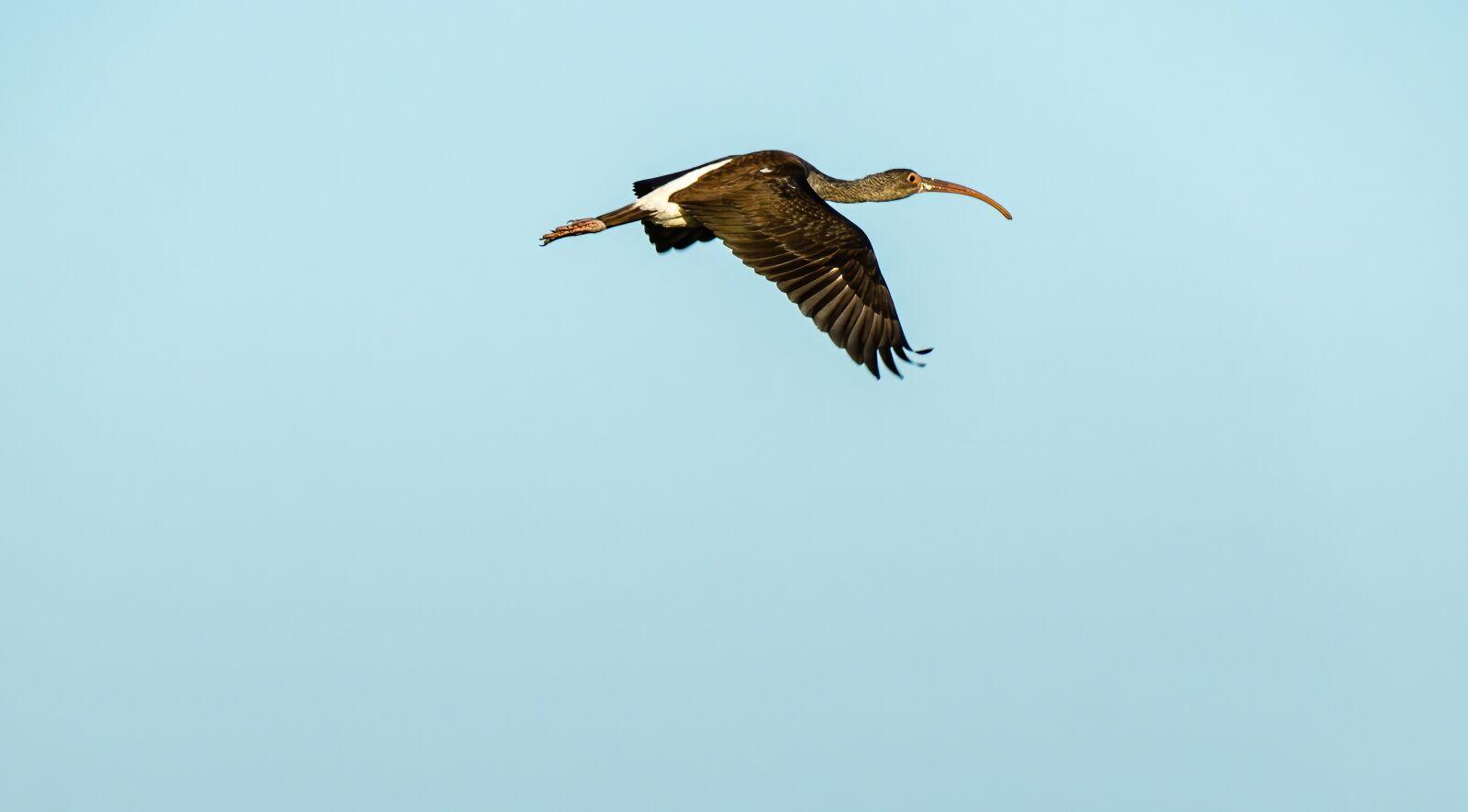 "Sony a6400 sample photo. ""Immature ibis, white ibis"" photography"