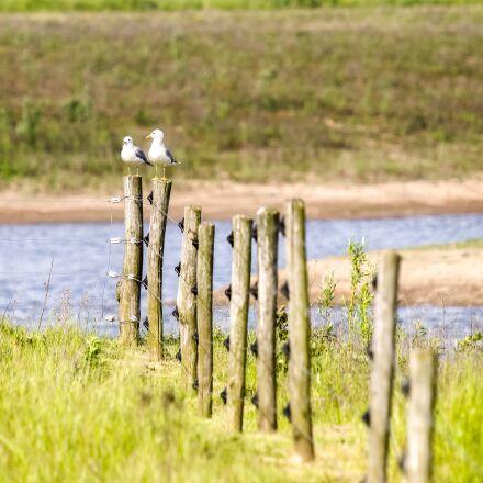 mew gull, seagull, bird, Olympus E-5