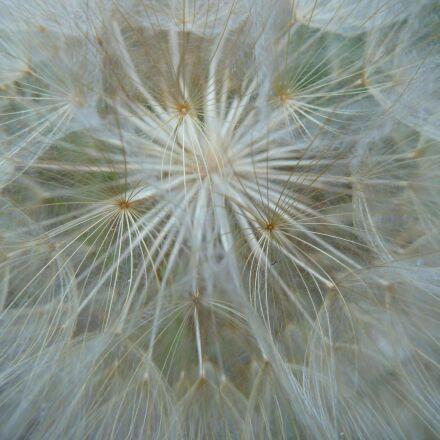 dandelion, flower, white, Panasonic DMC-ZS7