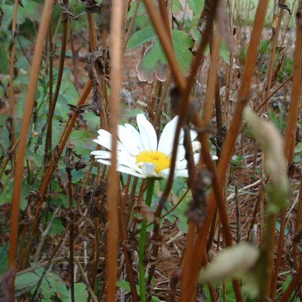 daisy, floral, plant, Fujifilm FinePix2650