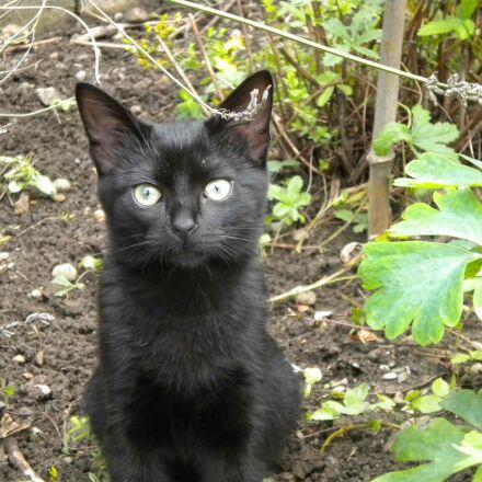 kitten, black, garden, Nikon COOLPIX S225