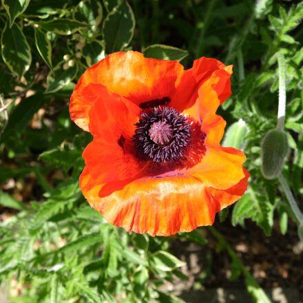 poppy, garden, june, Fujifilm X-T1