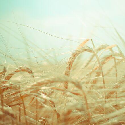 wheat, grain, green, Canon EOS 400D DIGITAL