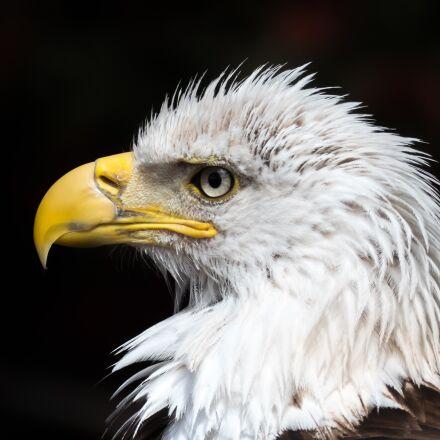 white tailed eagle, usa, Panasonic DMC-FZ300
