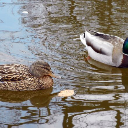 ducks, birds, mallard duck, Nikon COOLPIX S3600