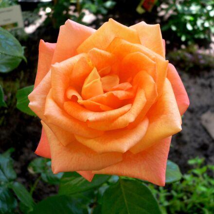rose, red, orange, Panasonic DMC-FX7