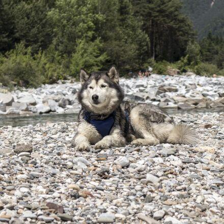 husky, pet, animal, Canon EOS M6