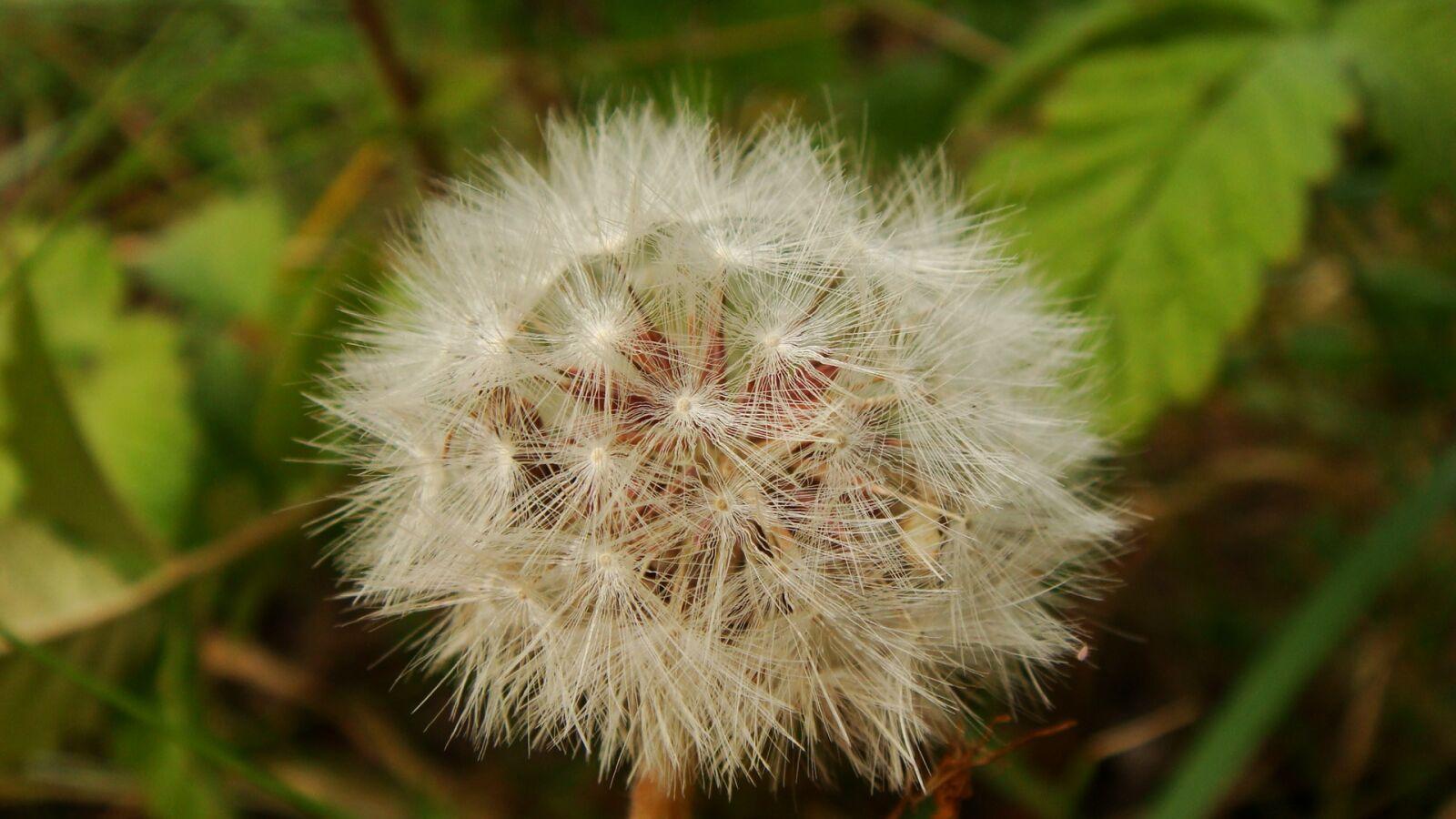 nature, flora, dandelion