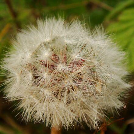 nature, flora, dandelion, Sony DSC-T70
