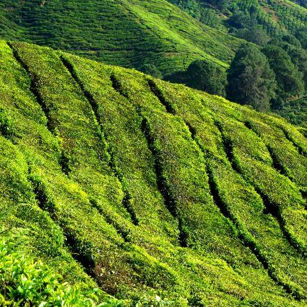 tea plantation, green, field, Sony NEX-6