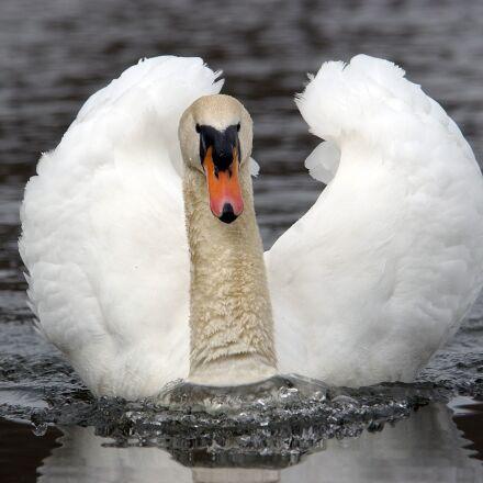 swan, noble, water, Nikon D1H
