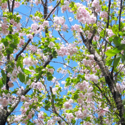 double cherry blossoms, pink, Canon IXY DIGITAL 910 IS