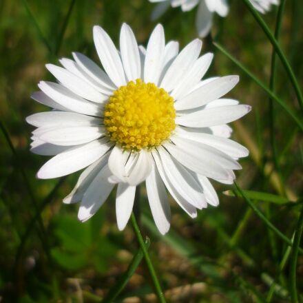 daisy, flower, white, Panasonic DMC-FS62