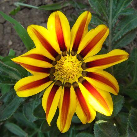 flower, yellow, red, Fujifilm FinePix AX250