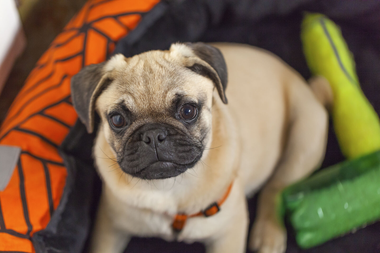 "Canon EOS 5D Mark II sample photo. ""Cute, animals, plays, pug"" photography"