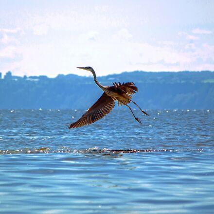 bird, great blue heron, Pentax K10D